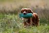 Kintbury Gundogs Summer test 19-9-21