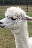 Alpaca Farm-4