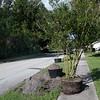 giles_gretchen_cultural arts tree-0224
