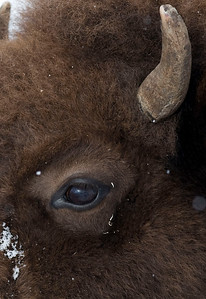 A yearling bison looks up from grazing after discovering it is being watched.