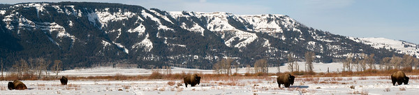 """Bison Bulls Winter Panorama"""