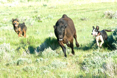 Roper, left, and Pokey bringing in a stubborn calf.