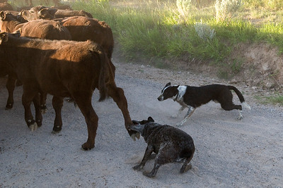 Josie, a Blue Heeler, nipps at the heel of a calf with Darla, a McNab, at the ready.