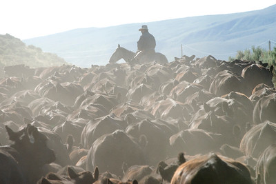 Allen Martinell in a sea of cattle.