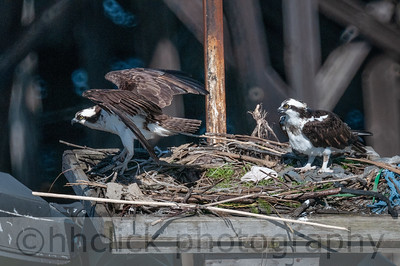 Ospreys nesting at Gunderson, 4/10/2014