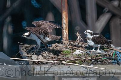 Ospreys nesting at Gunderson, 4/10/2014