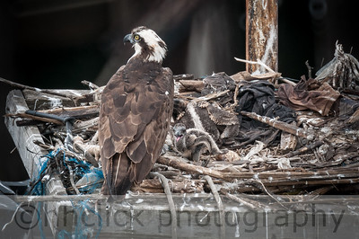 Ospreys with hatchlings at Gunderson, 6/24/2014