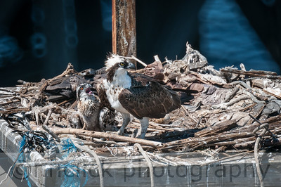 Osprey hatchling at Gunderson, July 7, 2014