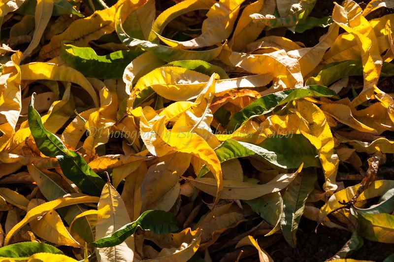 Metula Orchard in Fall 009