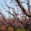 Metula Orchards 018