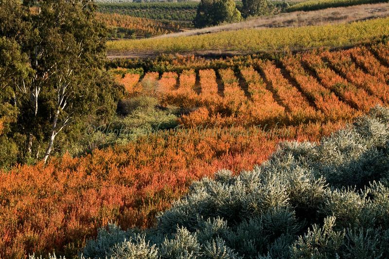 Metula Orchard in Fall 017