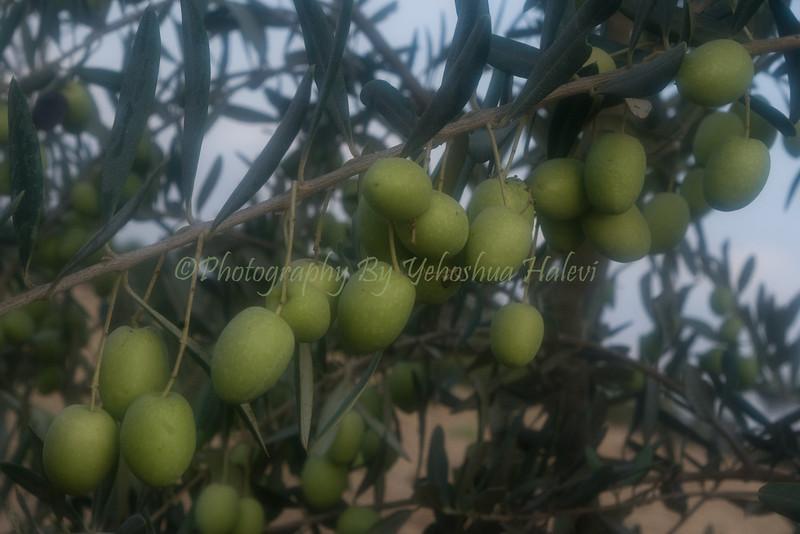 Ripe Olives 032