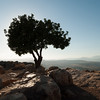 Carob Tree on Arbel 203