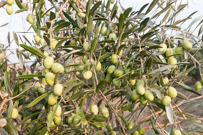 Ripe Olives 011