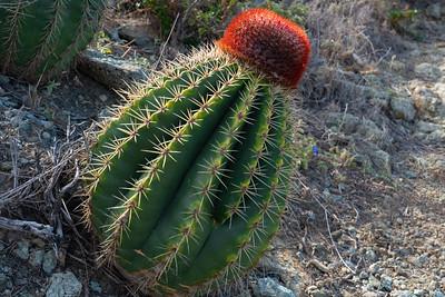 Turks Head Cactus