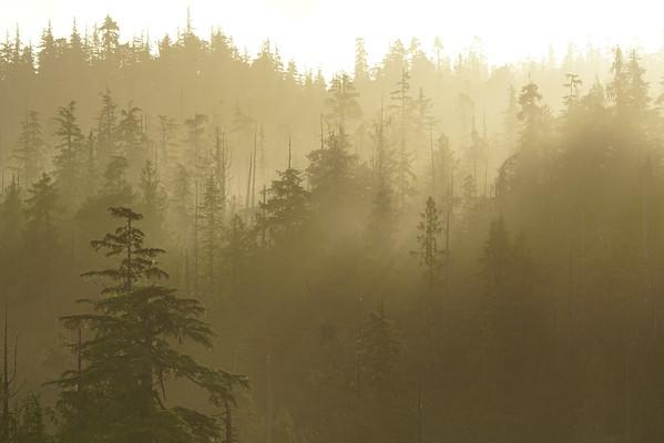 Ancient Cedars