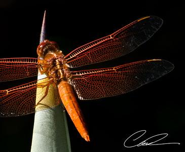 Dragonfly0026-Edit