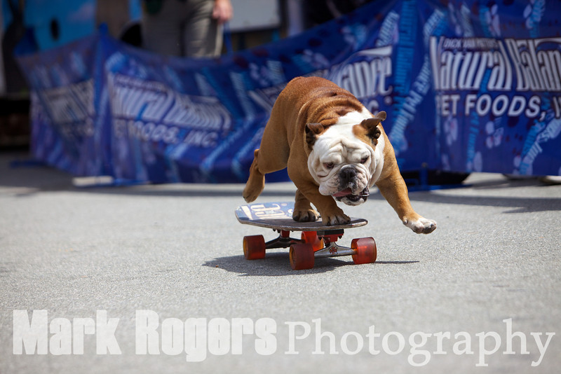Tillman, the world's fastest skateboarding dog