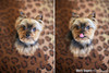 yorkie-before-after