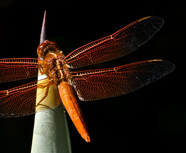 Dragonfly0026