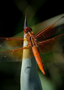 Dragonfly0036