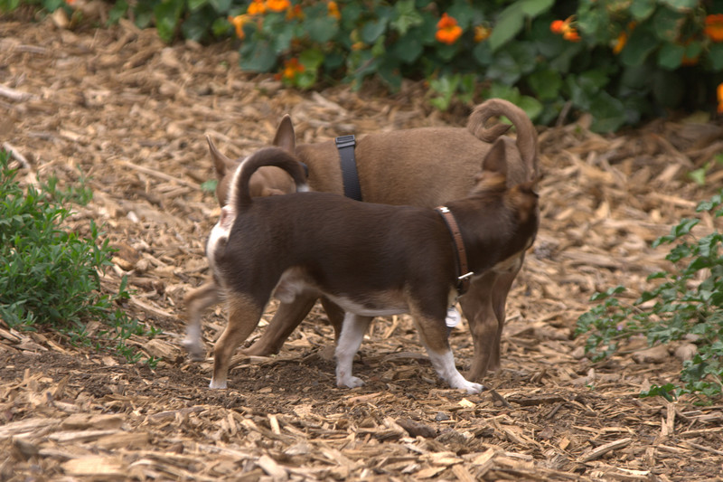 Sniffing Circle<br> Chihuahuas