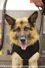 Niko <br /> German Shepherd<br /> Burlingame Police Department K-9 Unit