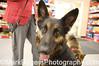 Rusty <br /> German Shepherd Rescue of Northern California