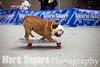 Tillman the world's fastest skateboarding dog