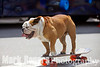 Tillman the world's fastest skateboarding dog hangs 20