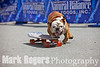 Tillman the world's fastest skateboarding dog