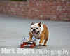 Tillman the Skateboarding Bulldog in action