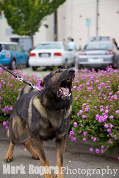 Ivan, German Shepherd, Burlingame K9 Unit