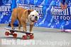 Tillman the world's fastest skateboarding dog pops a wheelie