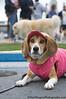 Peanut - Beagle<br /> San Francisco SPCA Dog Day on the Bay