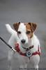 Rinky Dink - Jack Russell Terrier<br /> San Francisco SPCA Dog Day on the Bay