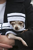 Penny - Chihuahua<br /> San Francisco SPCA Dog Day on the Bay