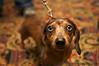 Dachshund<br /> San Francisco SPCA Dog Day on the Bay