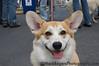 Benny - Corgi<br /> San Francisco SPCA Dog Day on the Bay