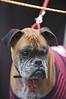 Peaches - Boxer<br /> San Francisco SPCA Dog Day on the Bay