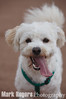 Pickles Smiling<br /> Bichon Frise Mix<br /> Walter Haas Dog Park - San Francisco