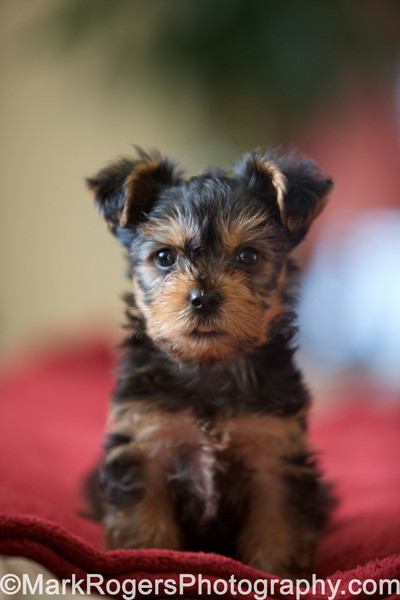 Thumper - Male Yorkie Puppy