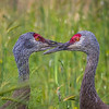 Sandhill cranes at Creamer's Field. Aug., 2015.