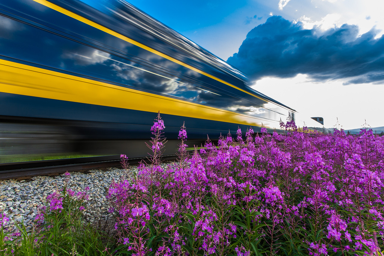An Alaska Railroad passenger train speeds past a field of fireweed on its way to the Fairbanks terminal.
