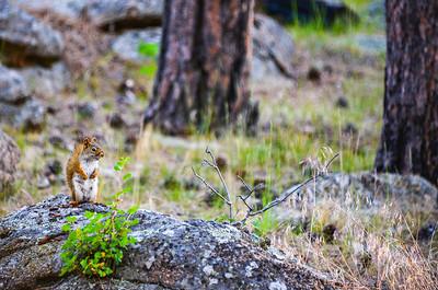 Devils Tower Squirrel