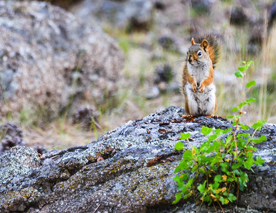 Devil's Tower Squirrel