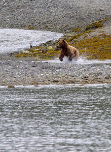 Bear running in river - USA - Alaska