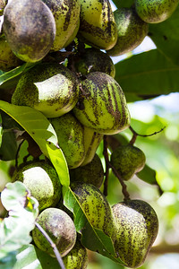 Close-up of raw mangoes - USA - Hawaii