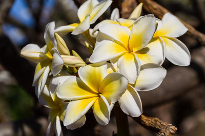 Plumeria flowers, outdoors