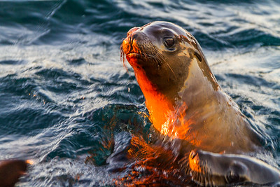 Curious California Sea Lions, Isla Los Islotes, Baja California Sur, Mexico, North America